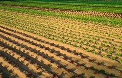 Vegetable plantation. Culture vegetables Stock Photos
