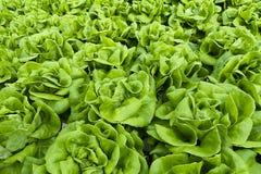 Vegetable Plantation Agriculture. Organic hydroponic fresh vegetable plantation Royalty Free Stock Image