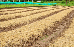 Vegetable plantation in Thailand Royalty Free Stock Image