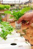Vegetable planted using hydroponics Royalty Free Stock Image