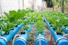 Vegetable planting water hydroponics Stock Photography