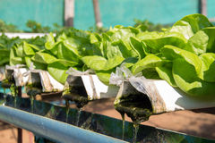 vegetable in plastic pipe of hydroponic concept royalty free stock photos