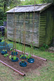 Vegetable Plot. A freshly dug vegetable plot with runner beans planted in blue plastic protection pots, set in a country garden. A wooden shed stands in the Stock Photos