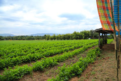 Vegetable plot. In the backyard of people`s house in rural area of Thailand Royalty Free Stock Images