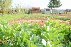 Community vegetable garden. Vegetable plot in a community garden royalty free stock images