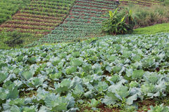 Vegetable plot on  mountain Royalty Free Stock Photography