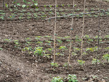 Vegetable plot, plants in lines, fine tilth. Royalty Free Stock Photography