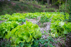 Vegetable plots Royalty Free Stock Images