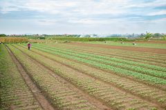 Vegetable plots on agriculture field in suburbs of Hanoi, Vietnam.  Royalty Free Stock Photos