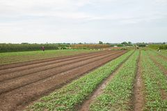 Vegetable plots on agriculture field in suburbs of Hanoi, Vietnam.  Stock Photography