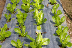 Vegetable plots salad Stock Photo
