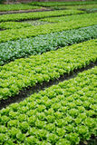Vegetable plots in a variety of vegetables Royalty Free Stock Photos