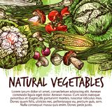 Vegetable poster with veggies and mushroom sketch. Vegetable poster of natural fresh veggies and mushroom sketch. Tomato, cabbage, onion and radish, green onion Royalty Free Stock Image
