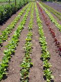 Vegetable rows Royalty Free Stock Photo