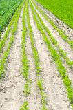 Vegetable rows in the field, the landscape of agriculture, green potatoes and carrots grow in the soil, farming, agro-industry, fr. Esh vegetables, crop ripening royalty free stock photo