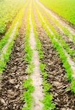Vegetable rows in the field, the landscape of agriculture, green potatoes and carrots grow in the soil, farming, agro-industry, fr. Esh vegetables, crop ripening royalty free stock image