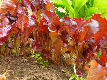 Vegetable salad growing Royalty Free Stock Images