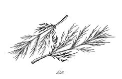 Hand Drawn of Dill Plants on White Background. Vegetable Salad, Illustration of Hand Drawn Sketch Delicious Fresh Dill or Anethum Graveolens Isolated on White Royalty Free Stock Images