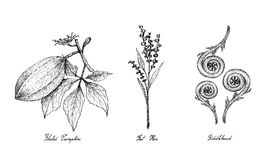 Hand Drawn of Fluted Pumpkin, Fat Hen and Fiddlehead Stock Images