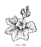 Hand Drawn of Chinese Mallow on White Background. Vegetable Salad, Illustration of Hand Drawn Sketch Fresh Green Malva Verticillata, Chinese Mallow or Cluster Royalty Free Stock Photo