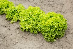 Vegetable salad in the organic garden stock photos