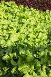 Vegetable salad. Vegetables grown without soil using a hydroponics Stock Image