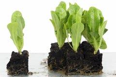 Vegetable seedlings in block culture Royalty Free Stock Image