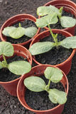 Vegetable seedlings closeup  in pots Royalty Free Stock Photo
