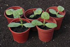 Vegetable seedlings closeup  in pots Stock Photo