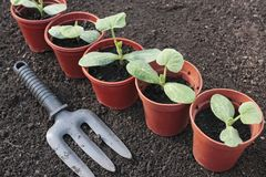 Vegetable seedlings growing in pots Royalty Free Stock Photo