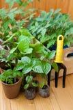 Vegetable seedlings indoor Stock Images