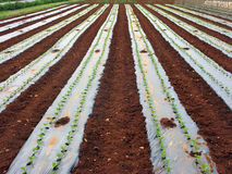 Vegetable seedlings planted Royalty Free Stock Photo