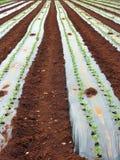Vegetable seedlings planted Royalty Free Stock Photos