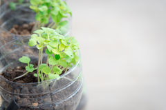 Vegetable seedlings. In plastic bottle Royalty Free Stock Image