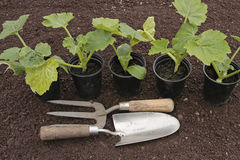 Vegetable seedlings tools growing in pots Stock Image
