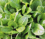 Vegetable sorrel Royalty Free Stock Images