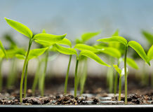 Free Vegetable Sprouts In Peat Tray Stock Images - 38371344