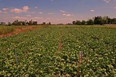 Vegetable test plot. Test for pesticide,fertilizer before introduce to market Royalty Free Stock Image
