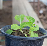 Vegetable on the tree pot Stock Photography