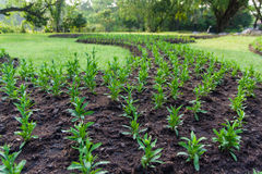 Vegetable. S are planted in the lawn Stock Images