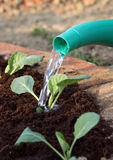 Vegetable young plants watering Royalty Free Stock Photos