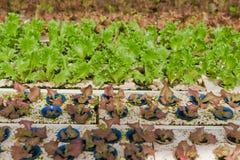vegetabler hydroponics Стоковые Изображения RF