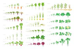 Vegetables agricultural plant, growth big set animation. Vector infographics showing the progression growing plants. Growth stages. Planting. Flat stock clipart stock illustration