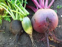 Vegetables beet and radish Royalty Free Stock Photo