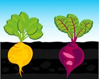 Vegetables beet and turnip in vegetable garden. Vector illustration vegetables turnip and sugar beet in ground vector illustration