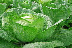 Vegetables cabbage Royalty Free Stock Images