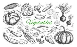 Vegetables collection. Vector 1 Stock Image