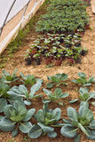 Vegetables cultivation Royalty Free Stock Photos