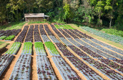 The vegetables cultivation or vegetable farm Stock Images