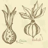 Vegetables  drawn onion and radish. Vegetables set hand drawn onion and radish Stock Photos